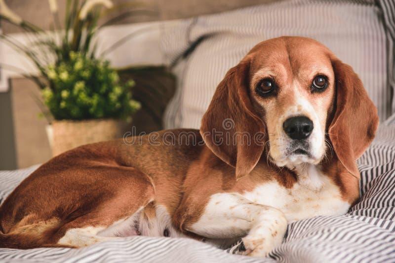 Собака во владельцах кладет в постель или софа Спать ленивой собаки бигля уставший или просыпать вверх Отдыхать собаки стоковое изображение rf