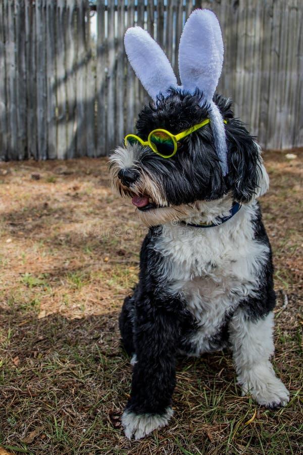Собака выглядя крутыми нося ушами и солнечными очками зайчика стоковое фото