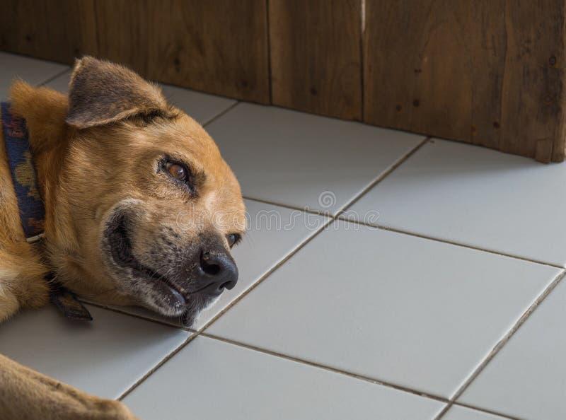 Собака вызревания смотря унылый из-за больного и недостатка обработки стоковое изображение rf