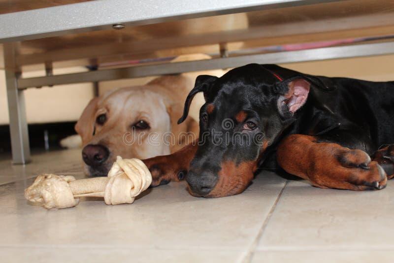 собака выслеживает влюбленность 2 стоковые изображения rf