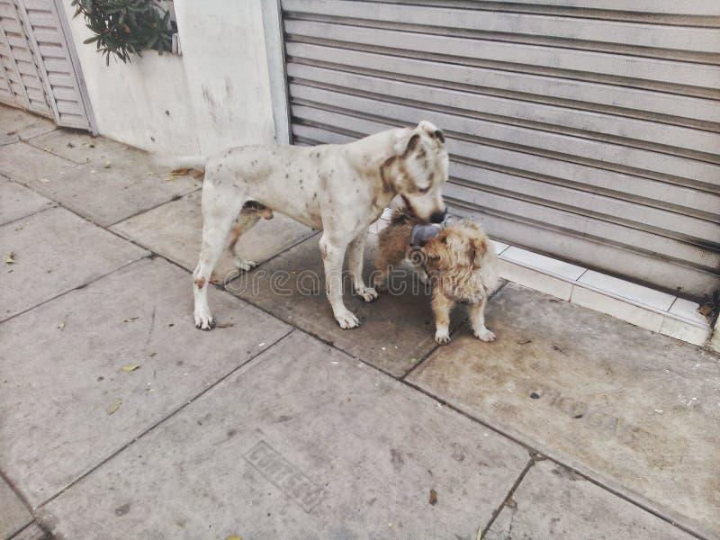 собака выслеживает влюбленность 2 стоковое фото rf