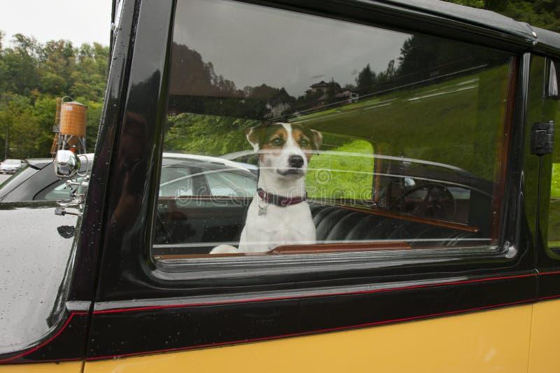 Собака в автомобиле стоковое изображение rf