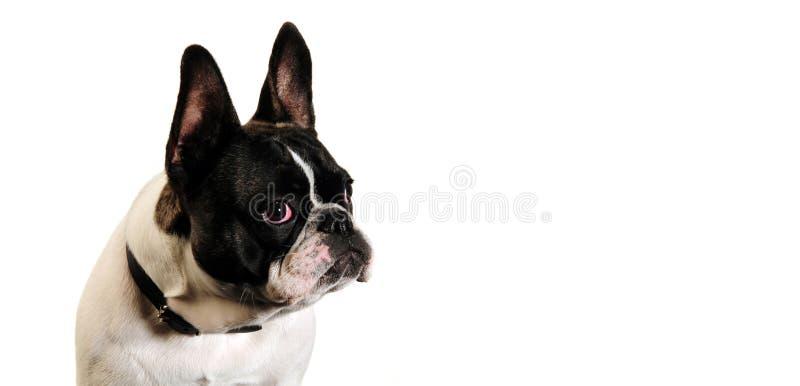 Собака в белой предпосылке стоковые изображения rf