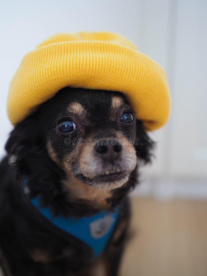 Собака в желтой шляпе, портрете стоковое фото