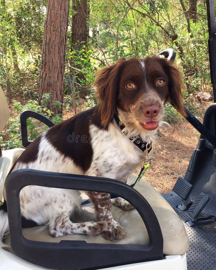 Собака в тележке гольфа стоковые фотографии rf