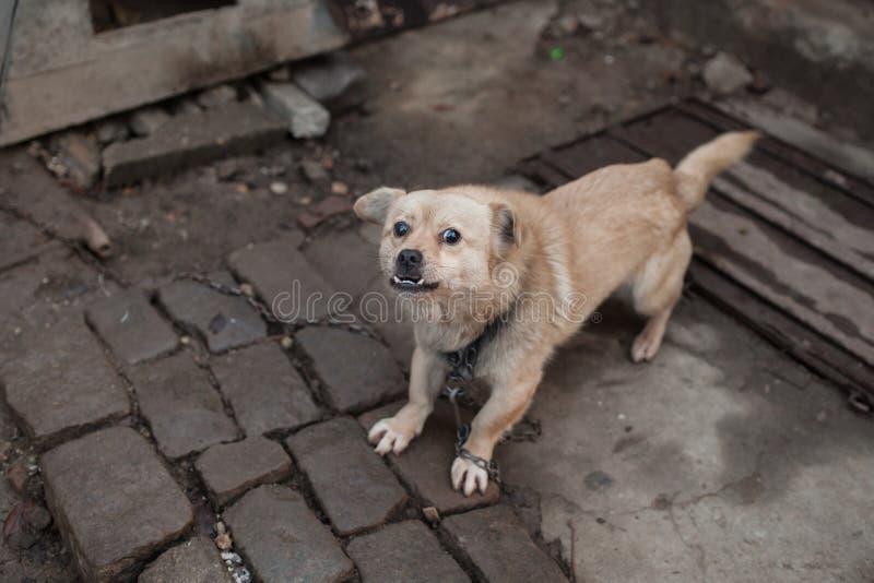 Собака в цепи стоковая фотография rf