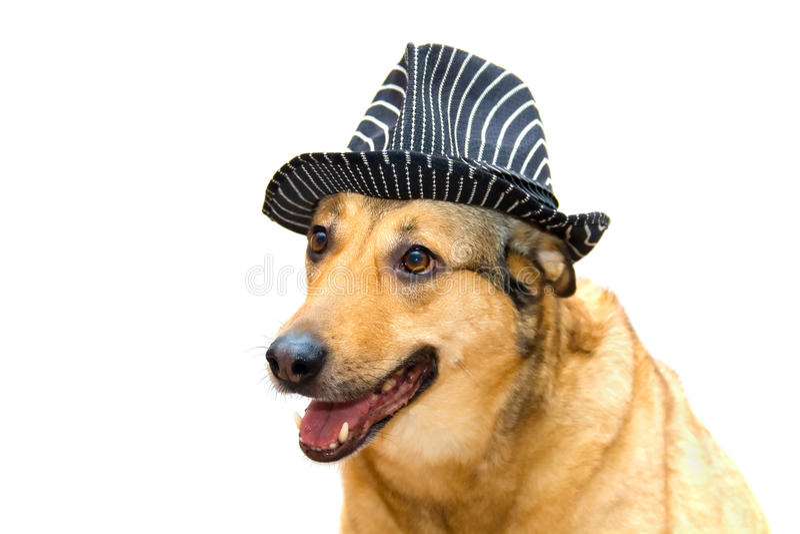 Собака в шляпе стоковая фотография rf