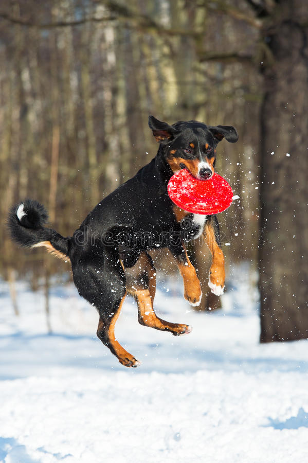 Собака горы Appenzeller Frisbee с красным диском летания стоковые изображения rf