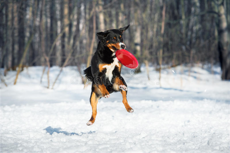 Собака горы Appenzeller Frisbee с красным диском летания стоковые фотографии rf