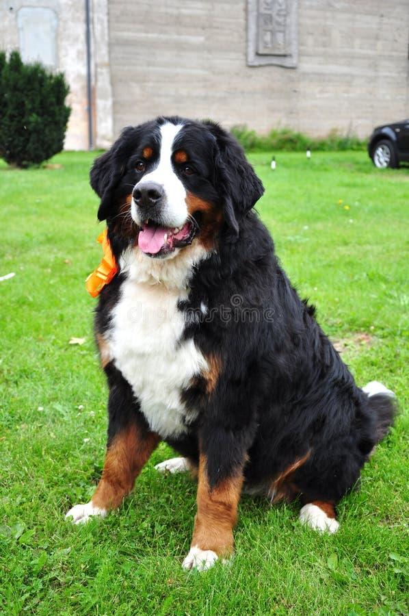 Собака горы Bernese стоковые изображения