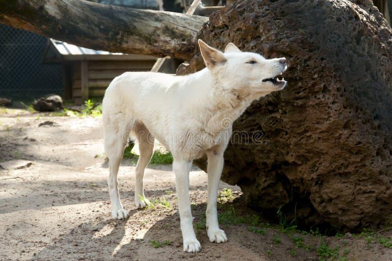 Собака динго стоковое изображение rf