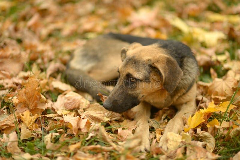 Собака лежа на упаденных листьях стоковое фото