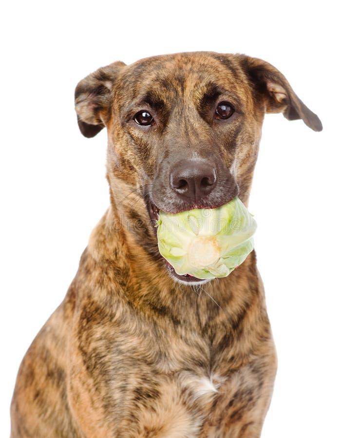 Собака держа капусту белизна изолированная предпосылкой стоковые фотографии rf