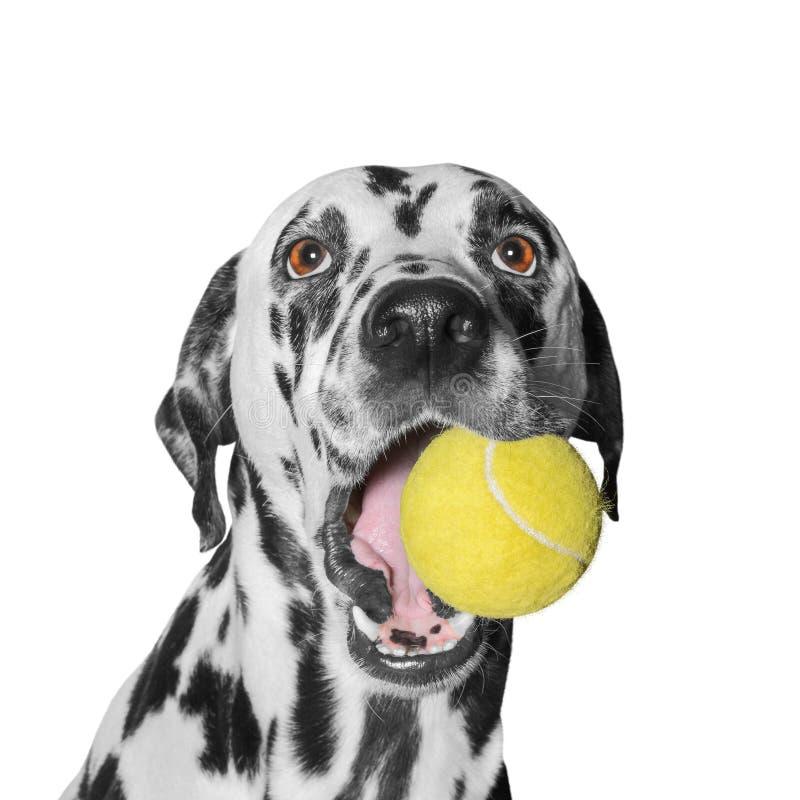 Собака держа шарик стоковое изображение