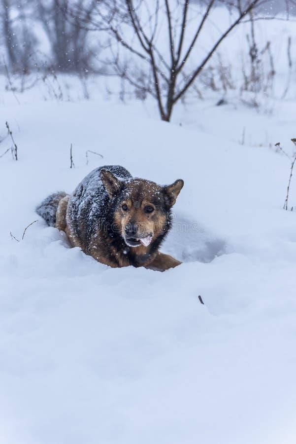 Собака есть замороженную косточку на снежном холоде стоковое фото rf