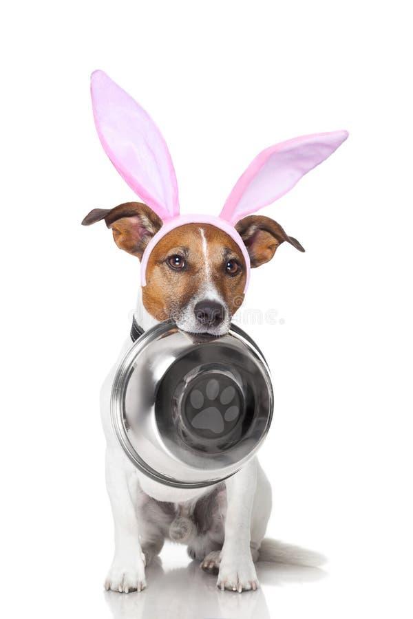 Собака зайчика пасхи голодная стоковая фотография rf