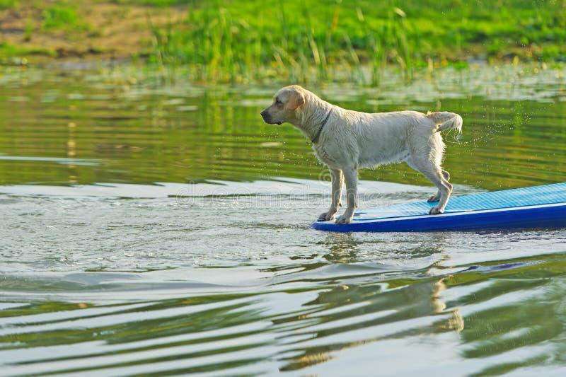 Собака занимаясь серфингом на борту стоковое изображение rf