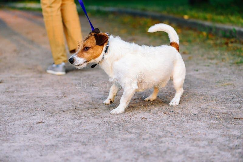 Собака запаздывая позади отказывает идти и волочит поводок в противоположном пути стоковые изображения