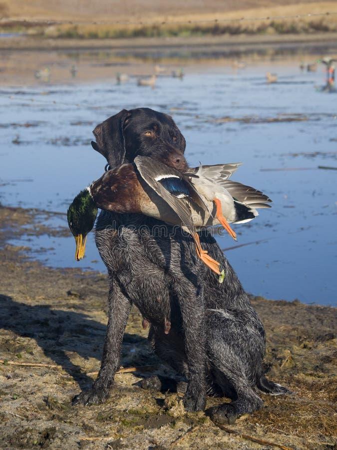 Собака звероловства и утка стоковые фотографии rf