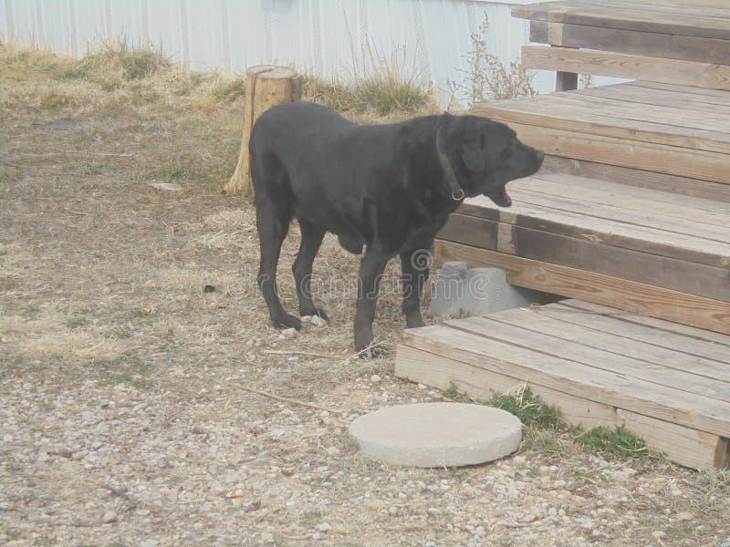 собака зевая стоковая фотография