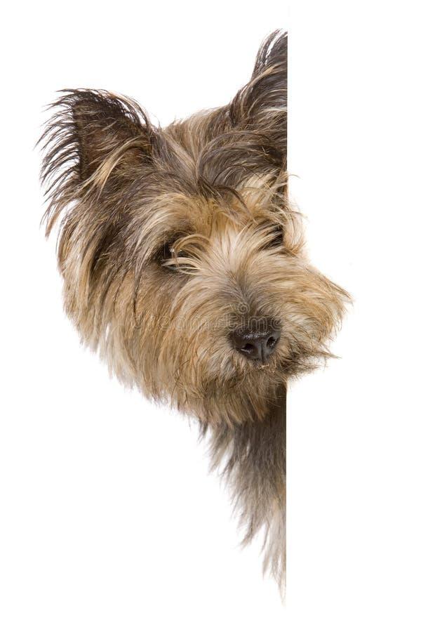 собака знамени стоковая фотография rf