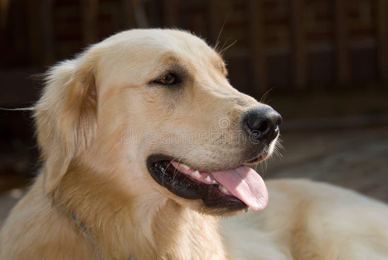 Собака золотистого Retriever стоковое фото