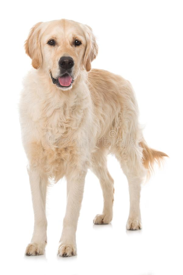 Собака золотого Retriever на белой предпосылке стоковые изображения