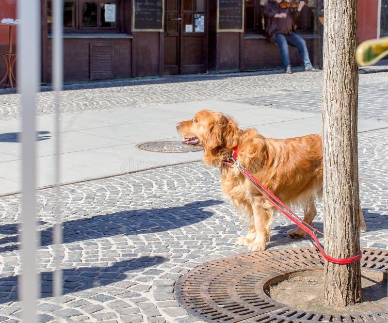 Собака золотого Retriever, связанная к дереву и ожиданию своего владельца, взгляд из окна кафа стоковая фотография