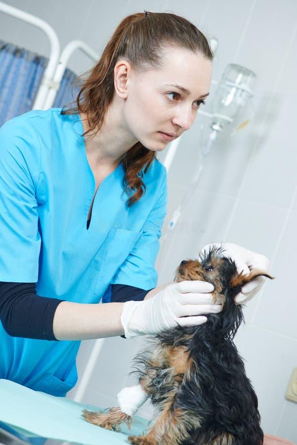 Собака зооветеринарного хирурга рассматривая стоковое фото rf