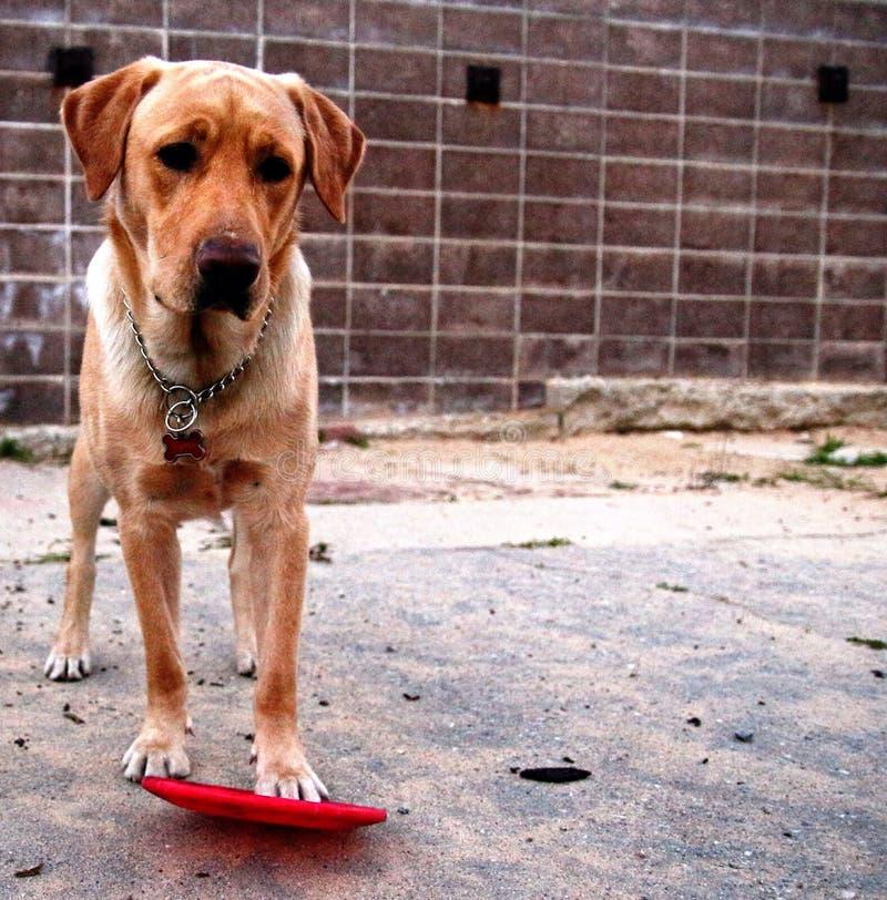 собака играя игрушку стоковое фото