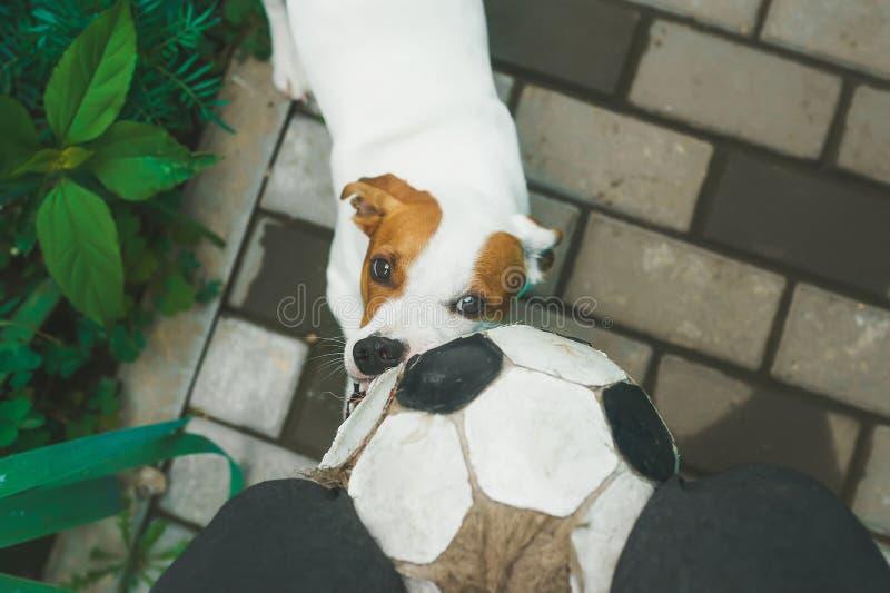 Собака играя футбол с soccerball в деревне r стоковые фотографии rf