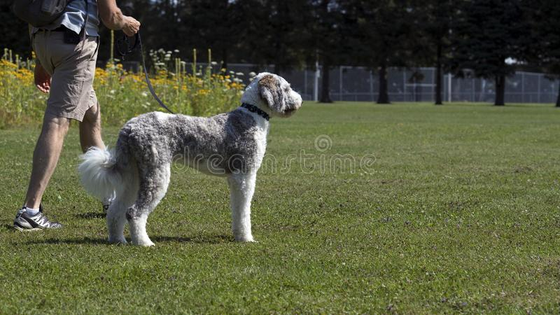 Собака идя в летнее время парка стоковые изображения rf