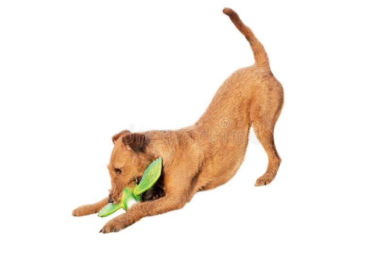 Собака ирландского терьера играя с уткой игрушки Изолировано на белизне стоковые изображения rf
