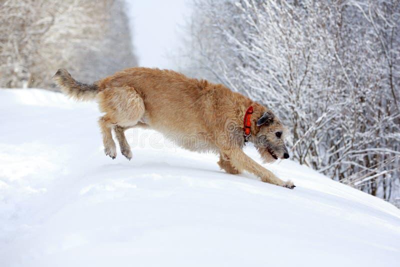 Собака ирландского wolfhound стоковое изображение rf