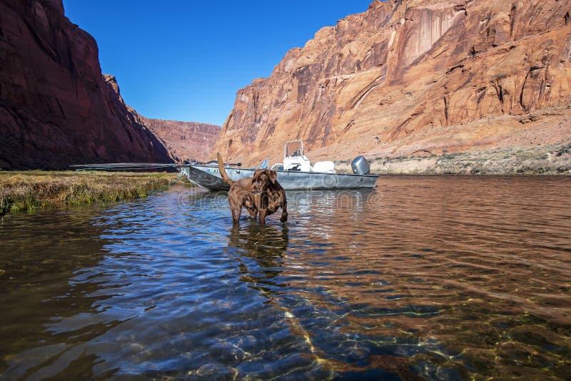 Собака исследуя Колорадо около запруды каньона Глен стоковое фото rf