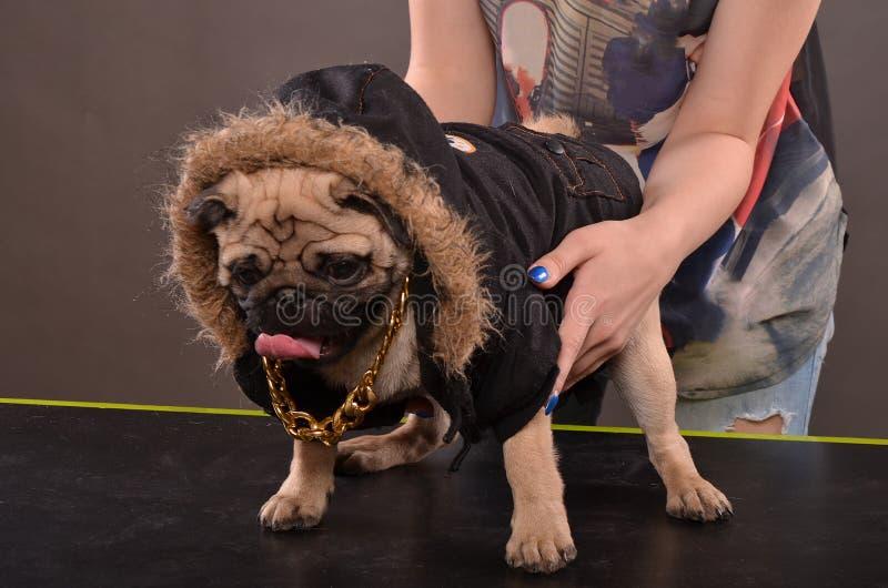 Собака и девушка мопса стоковое фото