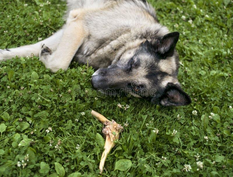Собака и косточка стоковое изображение rf