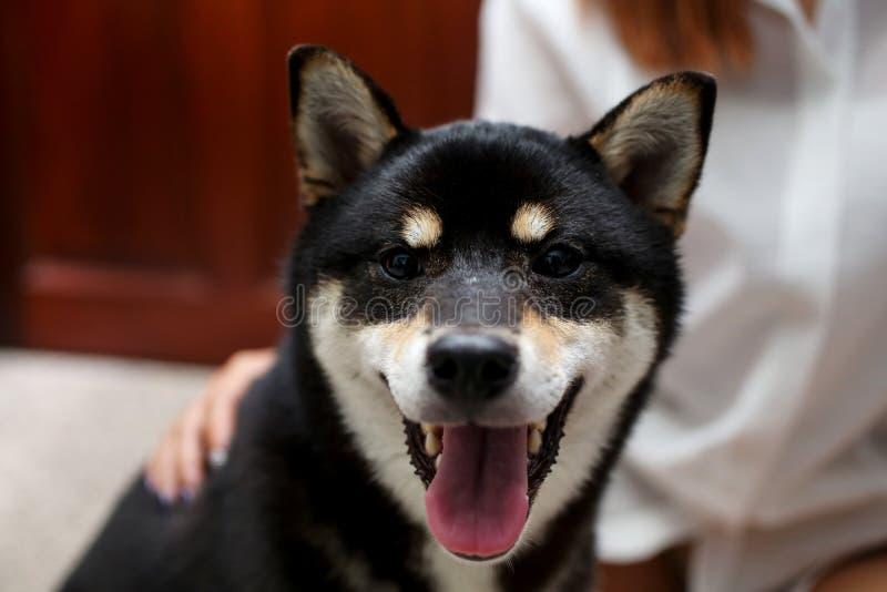 Собака и маленькая девочка Shiba Inu японца Красивый щенок inu shiba стоковое фото