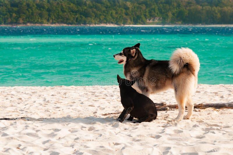 Собака и друзья сибирской лайки наслаждаются на пляже в утре стоковое фото rf