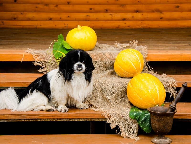 Собака и тыквы стоковое изображение