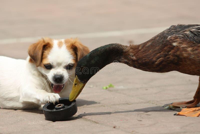 Собака и утка стоковое изображение rf