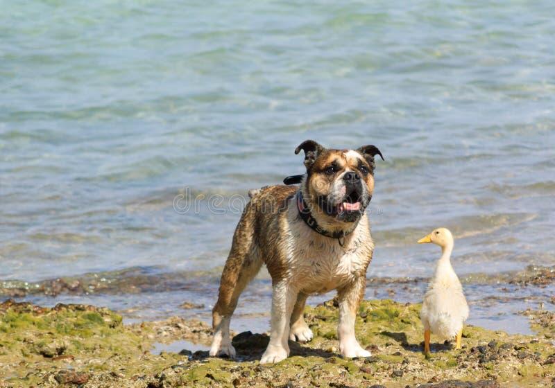 Собака и утка стоковые фотографии rf