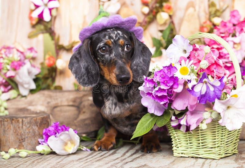 Собака и цветки таксы стоковая фотография rf