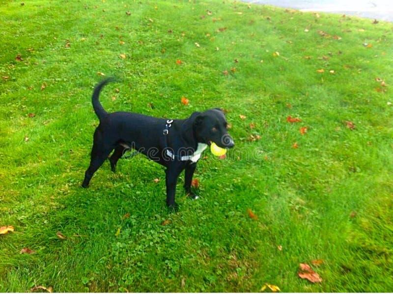 Собака и шарик стоковые изображения rf