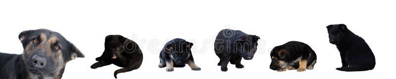 Собака и щенята немецкой овчарки стоковое изображение