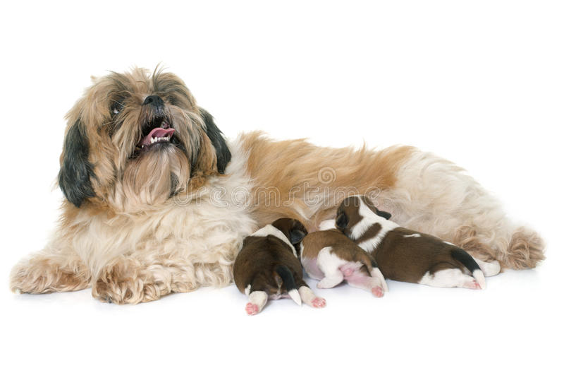 Собака и щенята tzu Shih стоковые изображения