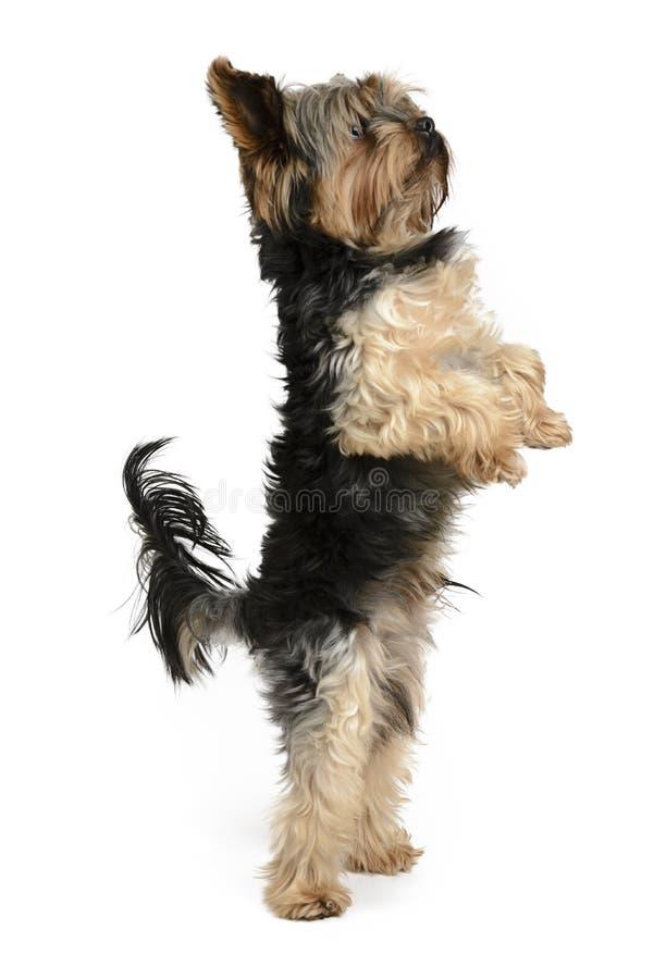 Собака Йорка на белом комплекте предпосылки стоковое фото