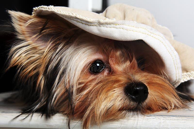 Собака Йорка довольно малая стоковое фото rf