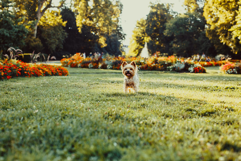 Собака йоркширского терьера бежать на зеленой траве стоковая фотография rf