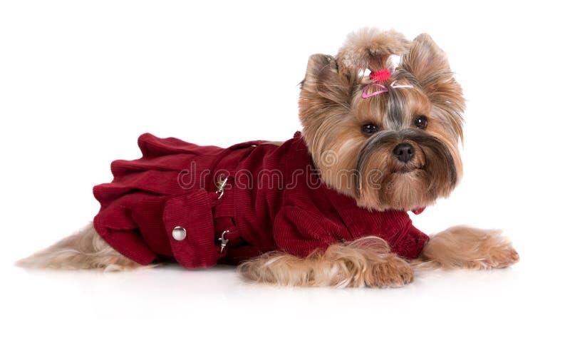 Собака йоркширского терьера в платье стоковые изображения rf